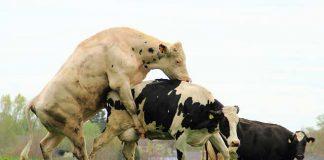 sajt za upoznavanje krava i bikova