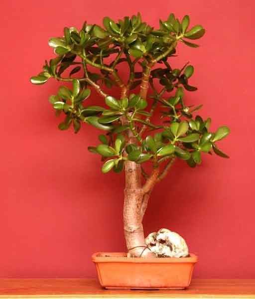 Krasula, biljka koja donosi novac Crassula_bonsai By Emmanuelm (talk) - self-made, CC BY 3.0, https://en.wikipedia.org/w/index.php?curid=15946787
