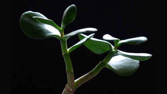 Krasula, biljka koja donosi novac: naučite kako da gajite krasulu i privučete energiju bogatstva