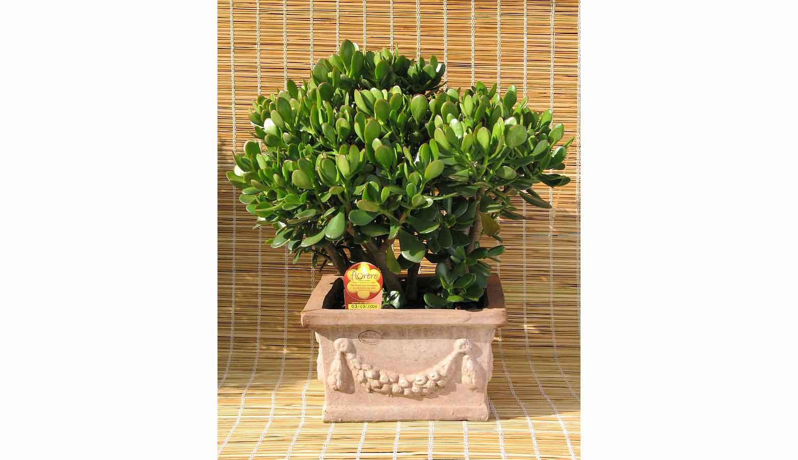Krasula, biljka koja donosi novac By Arch. Attilio Mileto - attilio.mileto@florero.net - Own work, CC BY-SA 3.0, https://commons.wikimedia.org/w/index.php?curid=2823557