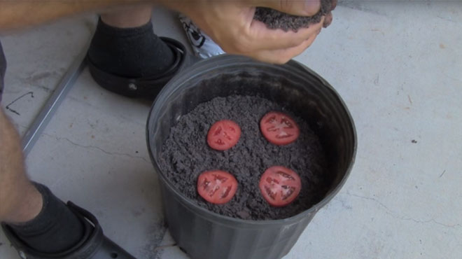 Stavio je kolutiće paradajza u saksiju: Evo šta se desilo nakon 2 nedelje!