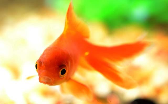Forumaš iznad u liku životinje - Page 6 Zlatna-ribica1