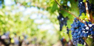 Recept za domaće vino: Uputstvo za proizvodnju domaćeg vina u kućnim uslovima!