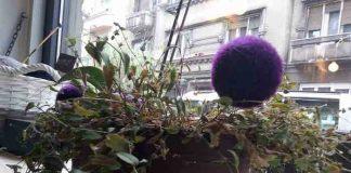 UKRASNI LUK ĆE VAM RAZVEDRITI DAN: Ova ljubičasta loptica nije igračka, već cvet!