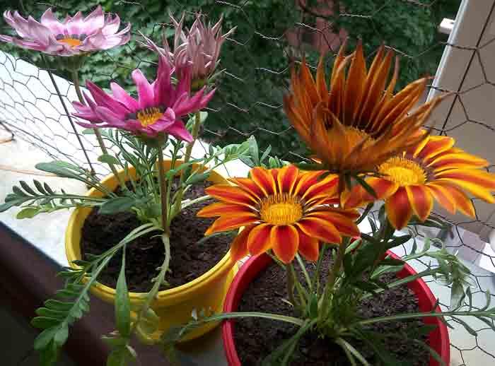 SUNČICE NA VAŠEM BALKONU: Tropski cvet koji obožava sunce i ne traži mnogo nege