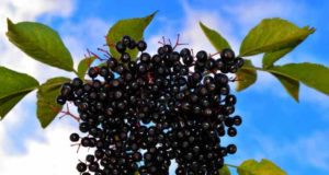 Lekoviti recepti od aronije: Napravite sok, džem ili slatko od ovog voća! (RECEPT)