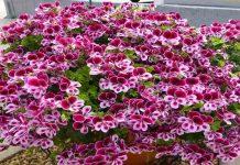 Najbolje cveće za terasu: 5 prelepih biljaka koje možete gajiti na terasi!