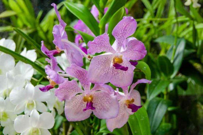 Saveti za održavanje orhideje: cvetaće i do tri puta godišnje!