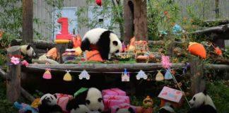 Da odlepiš od slatkoće: 18 pandi proslavilo prvi rođendan na zajedničkoj žurki (VIDEO)